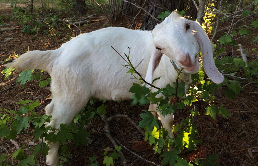 Boston Expanding Its Goat-Powered Landscaping System Because Everyone Loves Goats