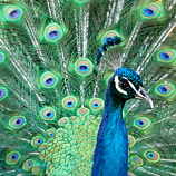 Expensive Purchases Are Like Peacock Feathers, Except They Don't Work
