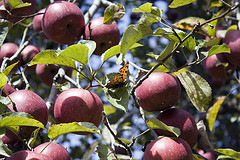 Picking Your Own Apples Can Take A Cider Press To Your Wallet