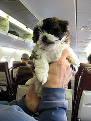 Seven Puppies Die After American Airlines Flight