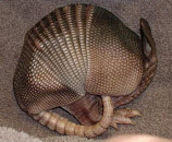 Beware Of Armadillos… Researchers Say They Can Give You Leprosy