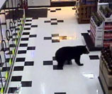 Bear Wanders In Wisconsin Grocery Store, Chills In Beer Department