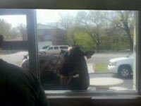 Escaped Cow Visits McDonald's Drive-Thru, Ponders Circle Of Life