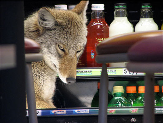 Downtown Chicago Quiznos Infested With… Coyotes?