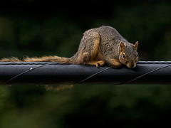 Squirrels Do 17% Of The Damage To Fiber Optic Networks