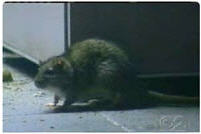 NYC Health Commissioner: Rats Are Not A Health Risk