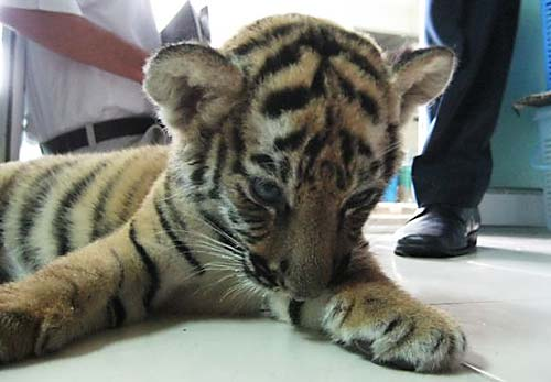 Airport Security Discovers Real Tiger Cub Among Toy Tiger Dolls In Suitcase