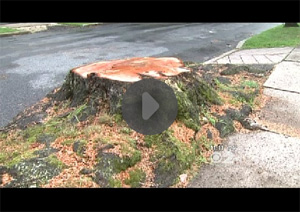 Homeowners Steamed After Utility Rips Up Old Trees To Install Power Lines