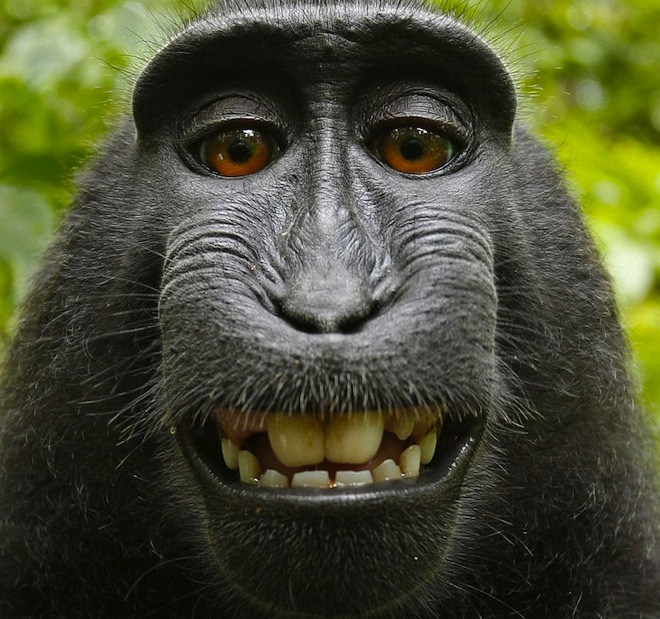 New Lawsuit Claims Monkey Should Get Copyright & Royalties For Famous Selfie