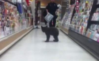 Lone Bear Cub Seals His Fate To Forever Live Among Humans After Strolling Through Rite Aid