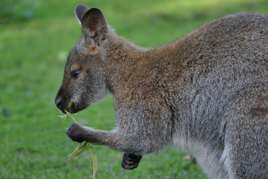 An example of a wallaby. They are cute.
