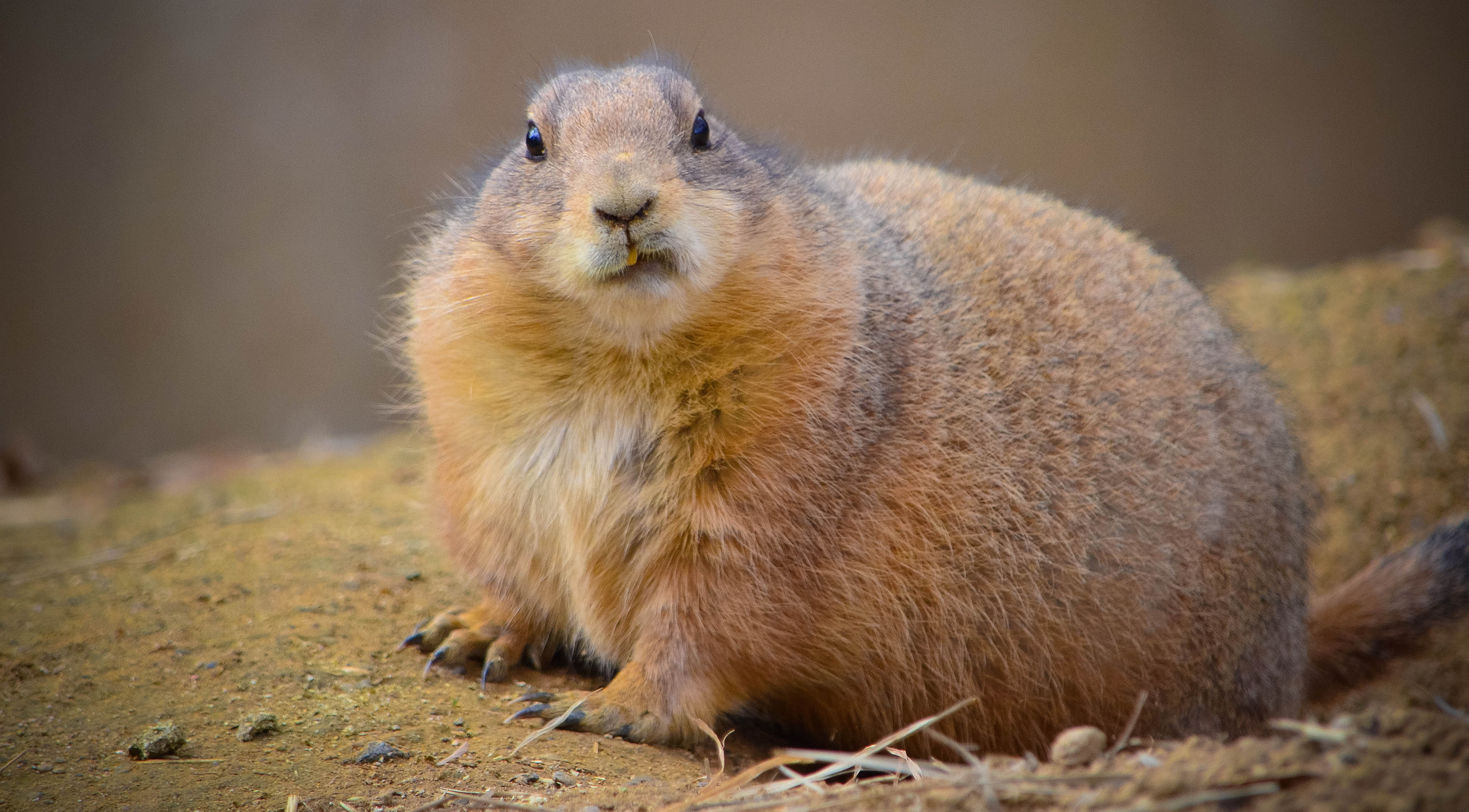 This prairie dog is not impressed by your hollow threats of legal action. (Angela N.)