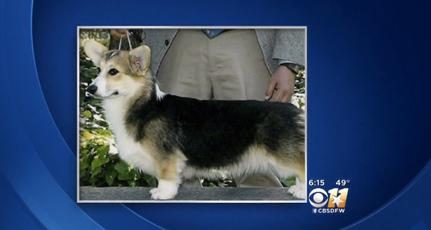 American Airlines Mistakenly Sends Corgi On 3,000-Mile Trip To Hawaii Instead Of Mississippi