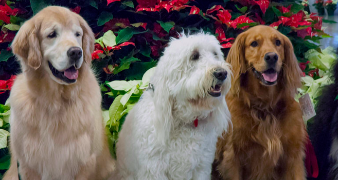 These pups aren't part of United Paws, but they'd still relieve holiday stress. (Hammerin Man)